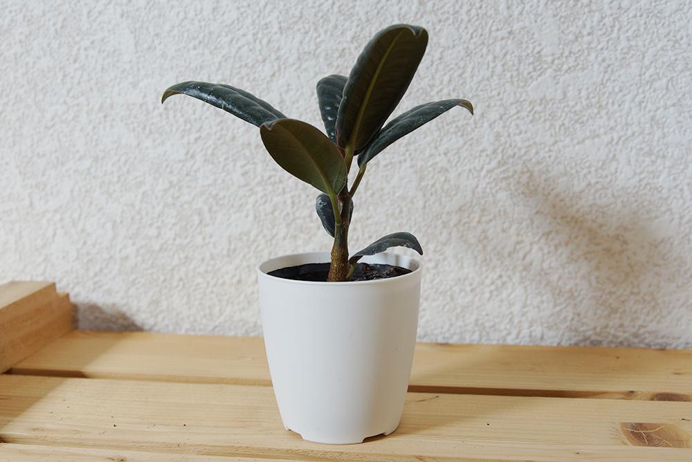 ゴムの木の苗