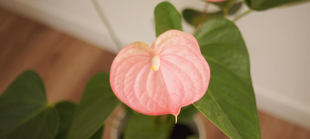 アンスリウムの仏炎苞と花