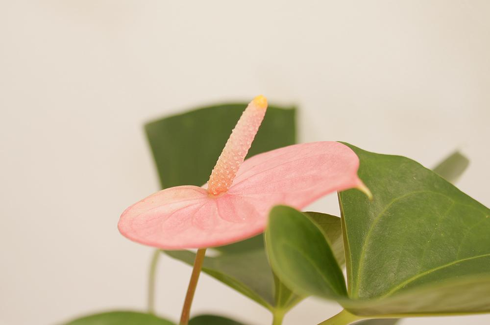 アンスリウムの花