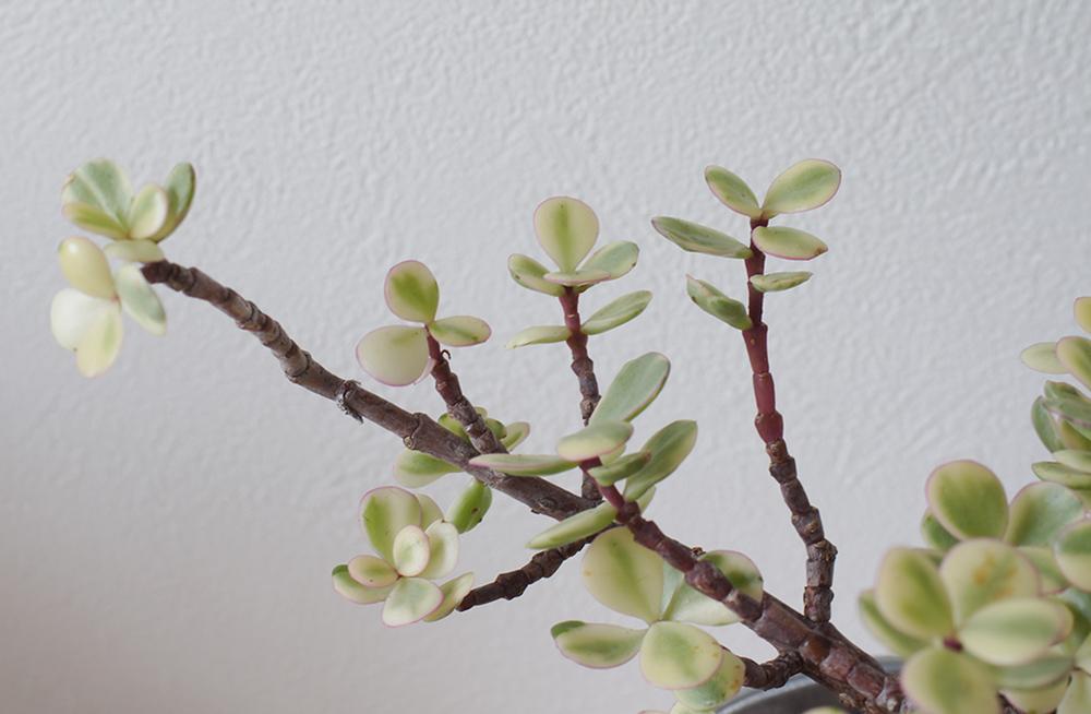 雅楽の舞の枝