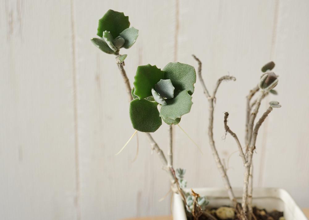葉が少ないミロッティー