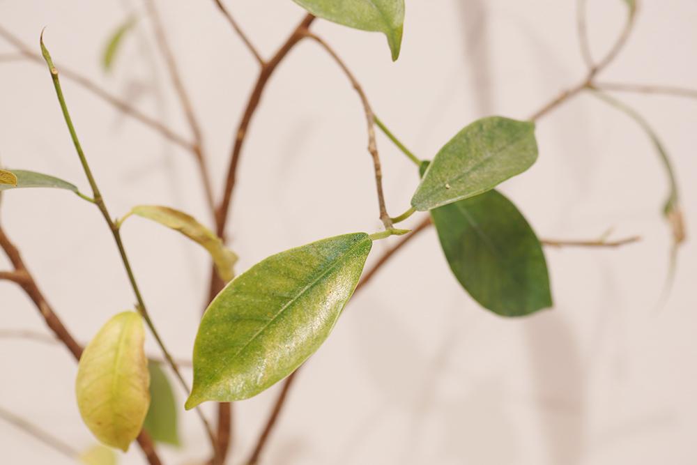 カサカサした葉