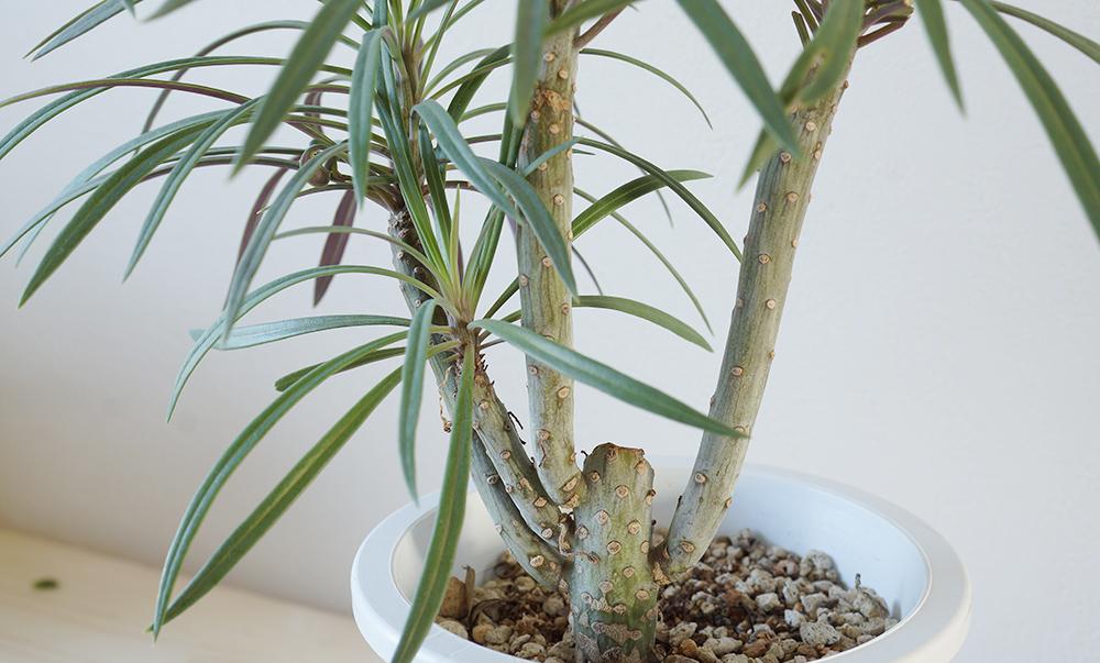 セネシオ・クレイニア 茎