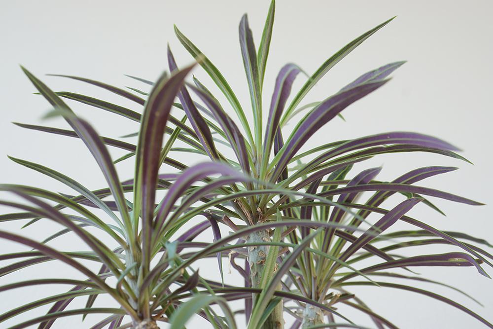 セネシオ・クレイニアの葉の裏は紫
