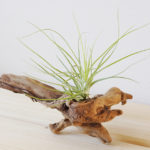 小さくてとっても葉が細いチランジア・ストリクタ