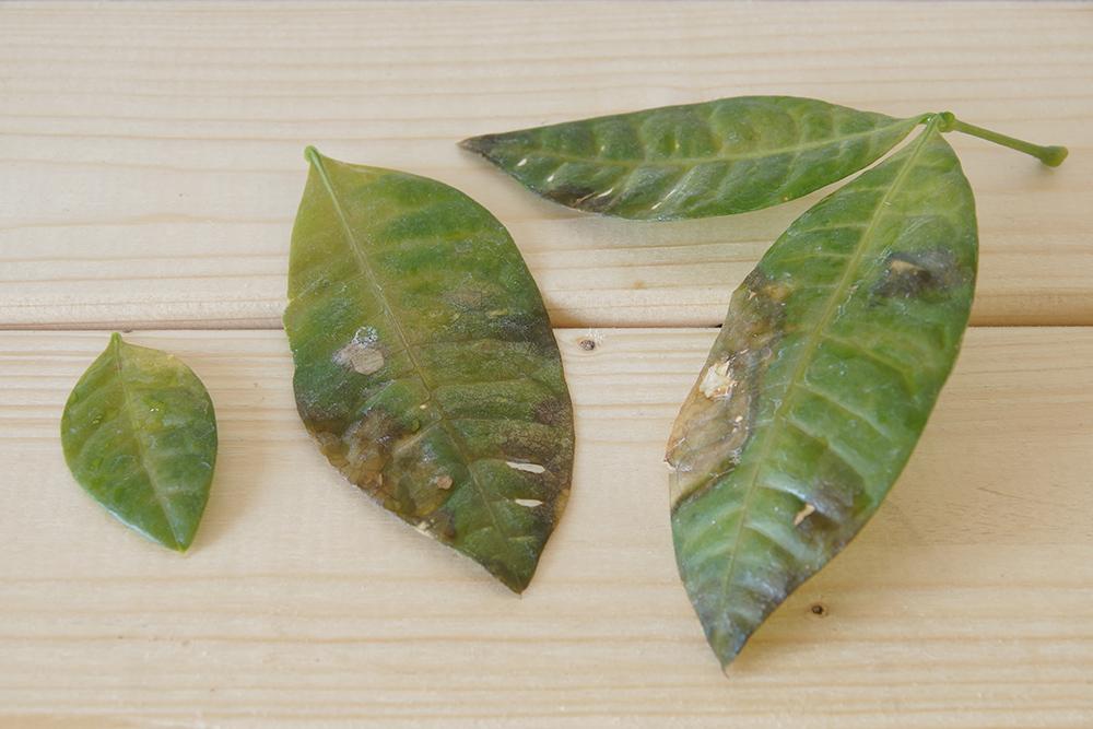 パキラ 葉っぱ 茶色